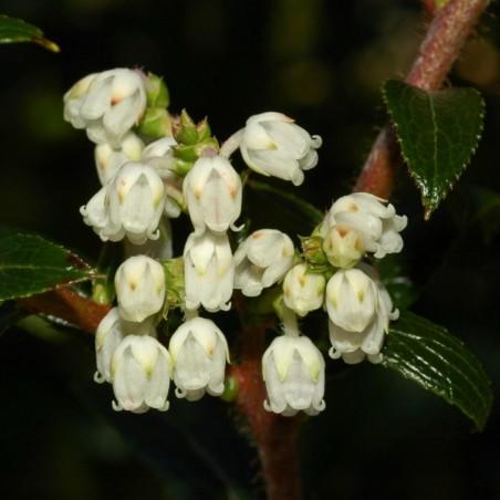 Tasmanische Scheinbeere Samen Leckere Früchte 1.35 - 1