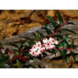 Frön Tasmanian Snowberry läckra frukter 1.35 - 2