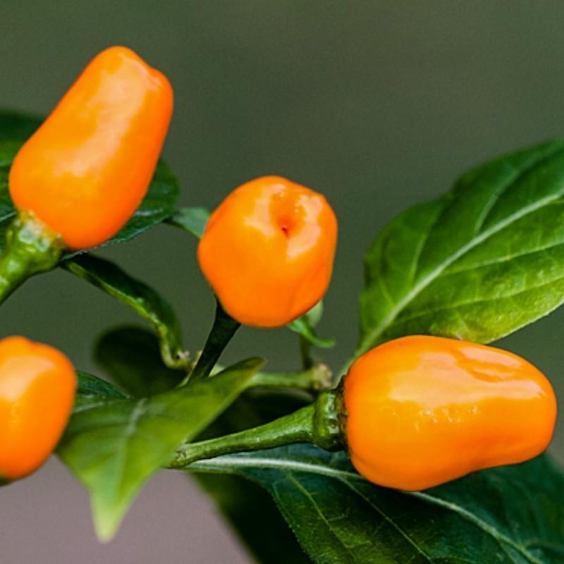 Semi Di Peperoncino Cumari o passarinho (Capsicum chinense) 2 - 2