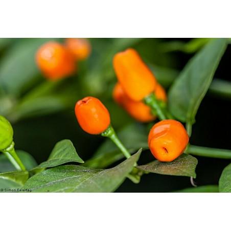 Cumari eller Passarinho Chili Frön (Capsicum chinense) 2 - 3