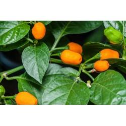 Cumari eller Passarinho Chili Frön (Capsicum chinense) 2 - 4