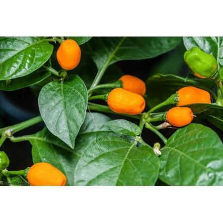 Cumari ou passarinho Samen (Capsicum chinense) 2 - 4