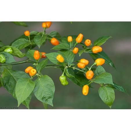 Cumari eller Passarinho Chili Frön (Capsicum chinense) 2 - 5