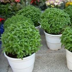 Griechisches Busch Basilikum Samen (Ocimum Basilicum) 1.45 - 1