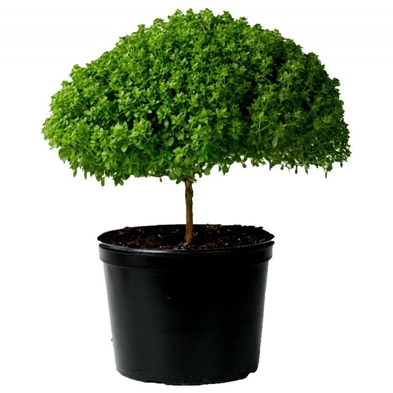Basil Greek Bascuro seeds (Ocimum minimum) 1.45 - 2
