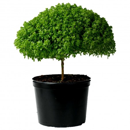 Griechisches Busch Basilikum Samen (Ocimum Basilicum)