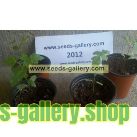 Σπόροι σουμάκι τρίλοβος εξωτικά φρούτα (Rhus trilobata)
