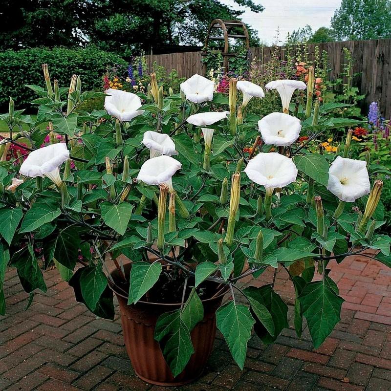 Gemeine Stechapfel Samen - Weiße Stechapfel (Datura stramonium) 2.25 - 1