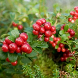 Lingonberry or Cowberry Seed 1.85 - 2