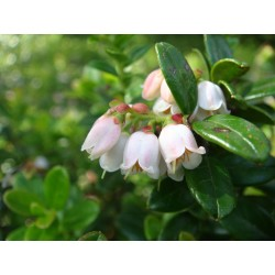 Graines Airelle (Vaccinium vitis idaea) 1.85 - 4