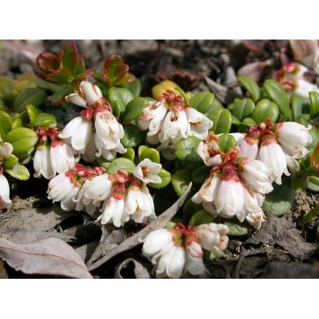 Graines Airelle (Vaccinium vitis idaea) 1.85 - 5