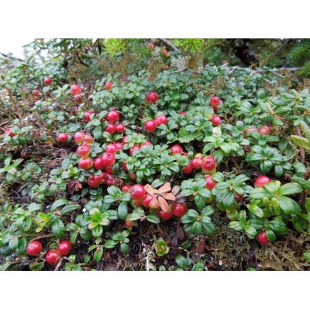 Graines Airelle (Vaccinium vitis idaea) 1.85 - 6