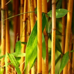 Golden Bamboo Seeds - fish pole bamboo (Phyllostachys aurea) 1.95 - 10