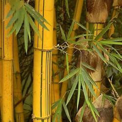 Sementes de Bambu Amarelo (Phyllostachys aurea) 1.95 - 8