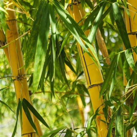 Golden Bamboo Seeds - fish pole bamboo (Phyllostachys aurea) 1.95 - 9