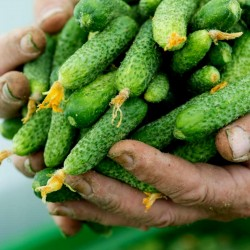 "Cucumber ""Shosha"" F1 Russian High Quality Seeds 1.65 - 1"