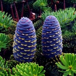 Korea-Tanne, Korean Fir Seeds (Abies koreana) 1.85 - 4