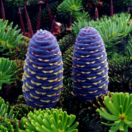 Korea-Tanne, Korean Fir Seeds (Abies koreana)
