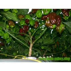 Habanero Chocolate Seme