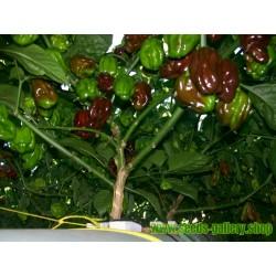Semillas de Habanero Pimiento Chocolate