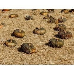 Sementes de abóbora MARINA DI CHIOGGIA 1.99 - 3