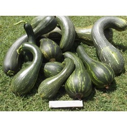 Long of Naples Squash Seeds 2.05 - 3