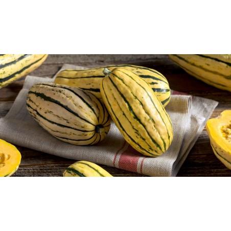 Zucchini frön DELICATA 2 - 3