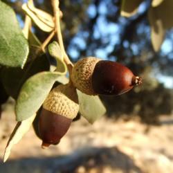 Graines de Chêne Vert ou l'Yeuse (Quercus ilex) 4.85 - 4