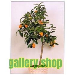 Semillas El naranjo enano, naranjo chino, kumquat  (Fortunella margarita)
