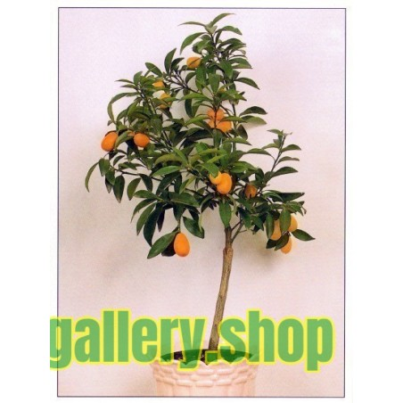 Graines de Kumquat (Fortunella Margarita)