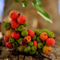 Cluster fikonträd, indiska fikonfrön (Ficus racemosa) 2.1 - 1