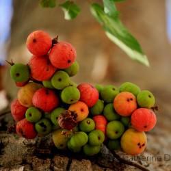 Συκιά σύμπλεγμα, ινδική σύκα σπόροι (Ficus racemosa) 2.1 - 1