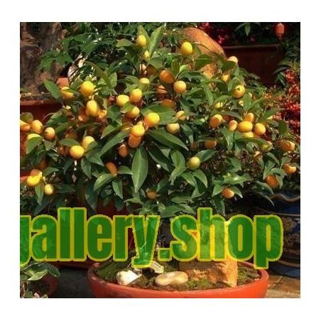 Kinkan - Kumquat Frön (Fortunella margarita) Frost Hardy -10 C