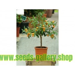 Kumquats or cumquats Seeds (Fortunella margarita) exotic tropical fruit
