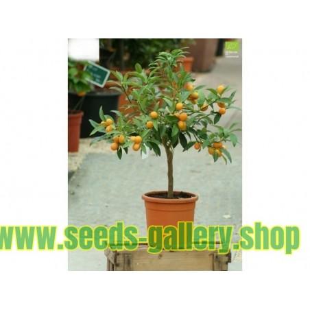 Semi di Fitolacca Phytolacca Uva Turca Cremesina (Phytolacca Americana)