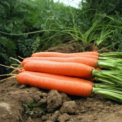 Semillas de zanahoria, romas largas, sin xilema (corazón) 2.35 - 1