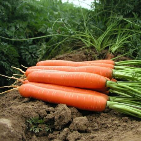Graines de carotte, long émoussé, sans xylème (coeur) 2.35 - 1