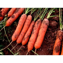 Carrot seeds, long blunt, xylem free (heart) 2.35 - 3
