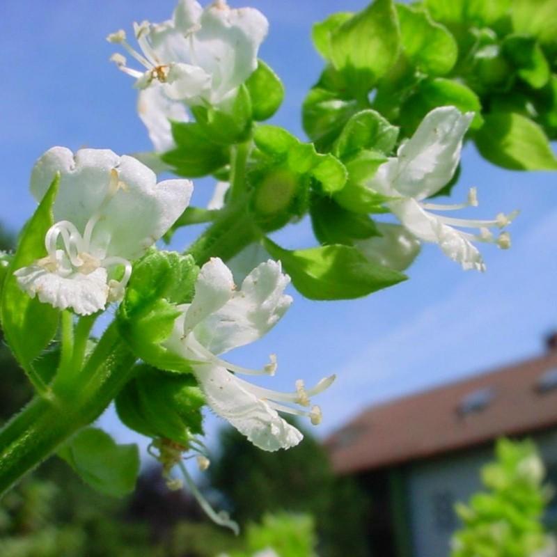 Lemon basil or Hoary basil Seeds (Ocimum americanum) 1.75 - 3