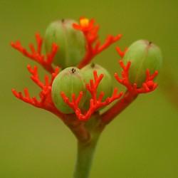 Rhabarber von Guatemala Samen (Jatropha podagrica) 3.5 - 2