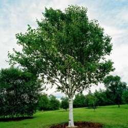 Birch Tree Seeds (Betula) 1.95 - 2