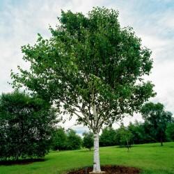 Σπόροι Σημύδα (Betula) 1.95 - 2