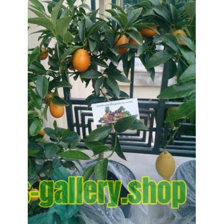 Graines de Kumquat (Fortunella Margarita)