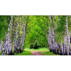 Σπόροι Σημύδα (Betula) 1.95 - 8