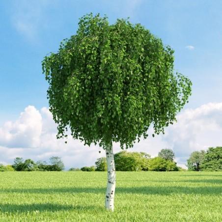 Birch Tree Seeds (Betula) 1.95 - 9