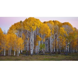 Birch Tree Seeds (Betula) 1.95 - 3