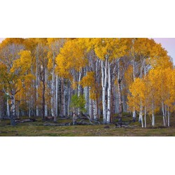 Birch Tree Seeds (Betula) 1.95 - 5