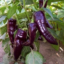 MARCONI PURPLE Sweet Pepper Seeds 1.65 - 2