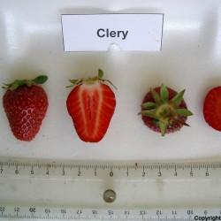 Semillas de Fresa CLERY 2 - 3