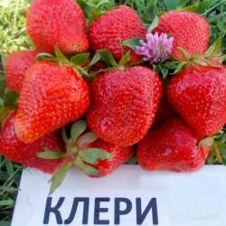 Σπόροι Φράουλα CLERY 2 - 4